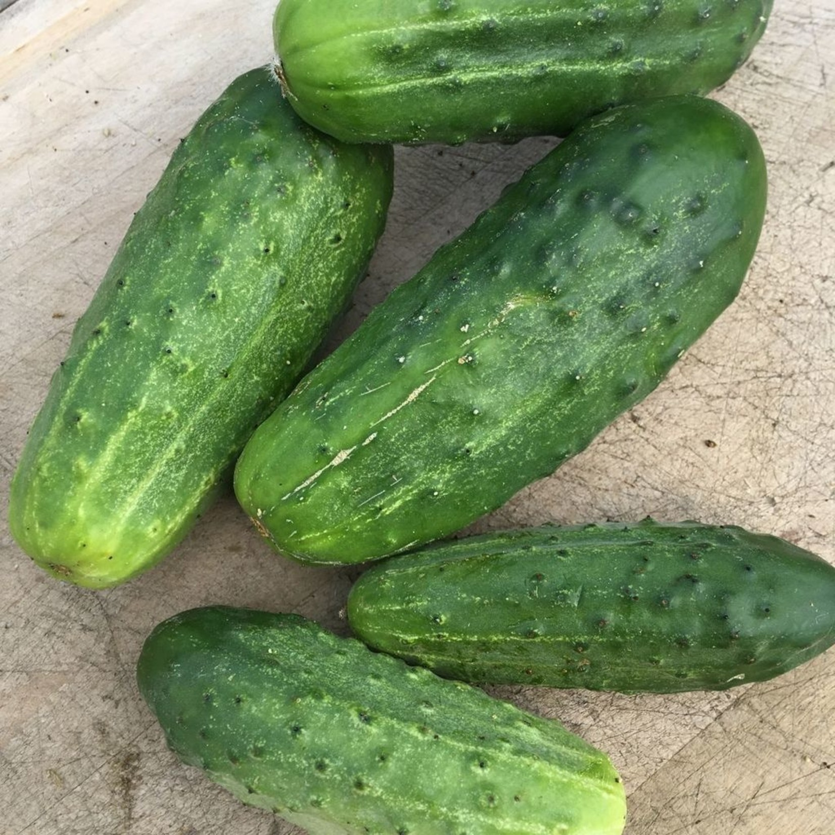 Tourne-Sol National Pickling Cucumber