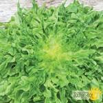 Tourne-Sol Regal Oak Green Oakleaf Lettuce