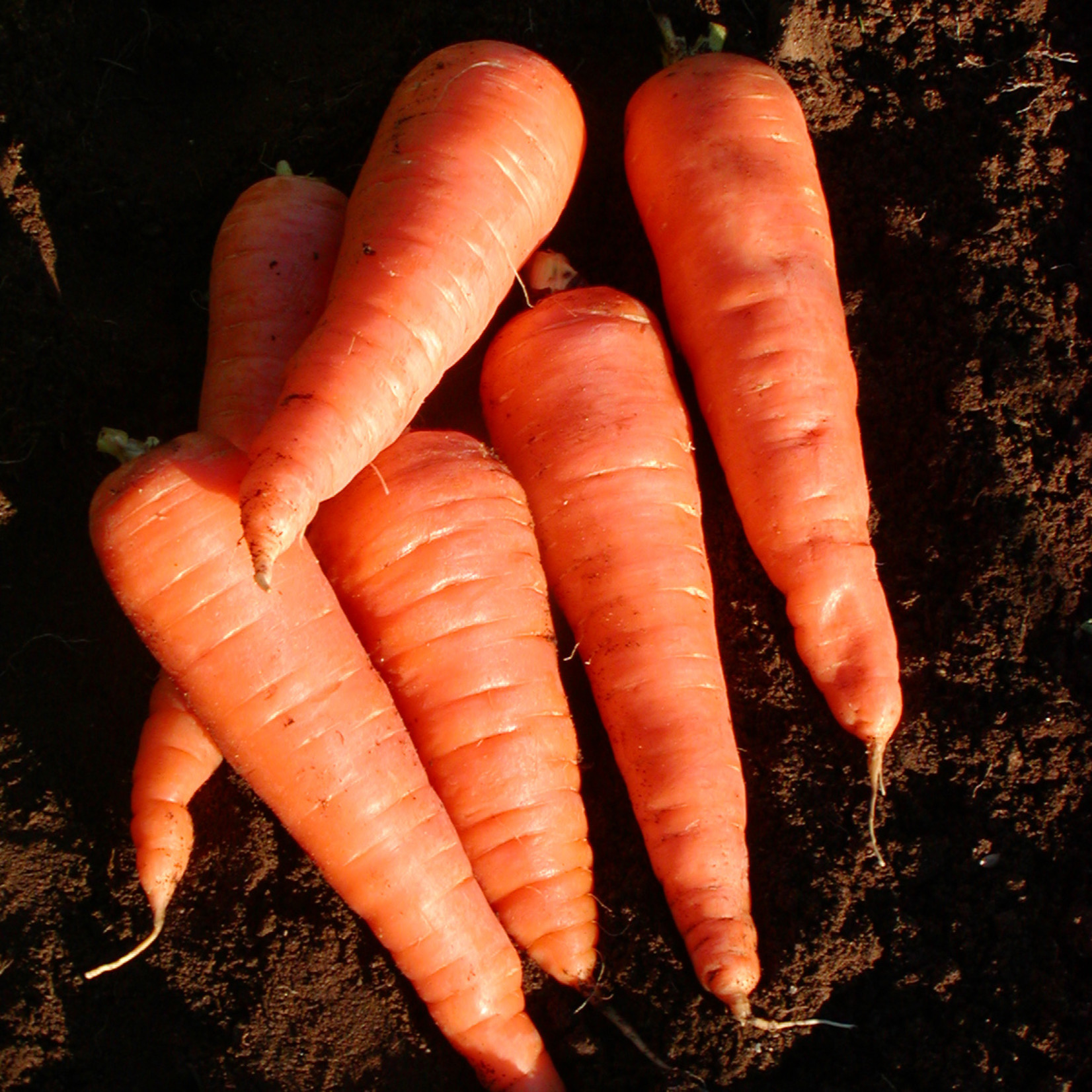 Tourne-Sol Red Cored Chantenay Carrot