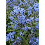 Tourne-Sol Cynoglossum Blue Chinese Forget-Me-Not