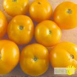 Tourne-Sol Tomate Jaune Golden Bison