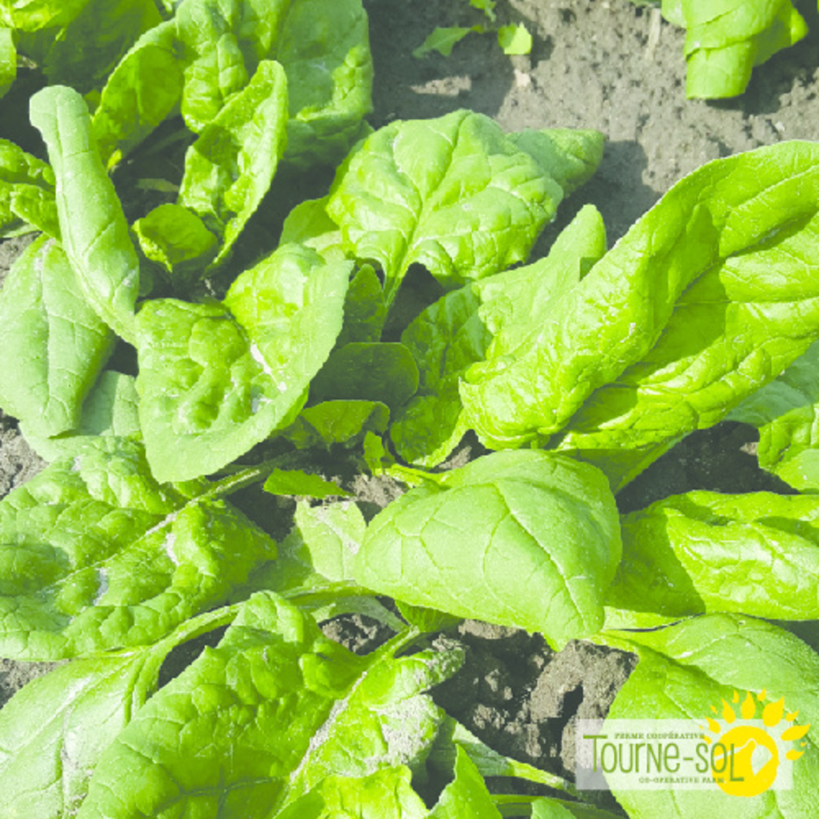 Tourne-Sol Verdil spinach