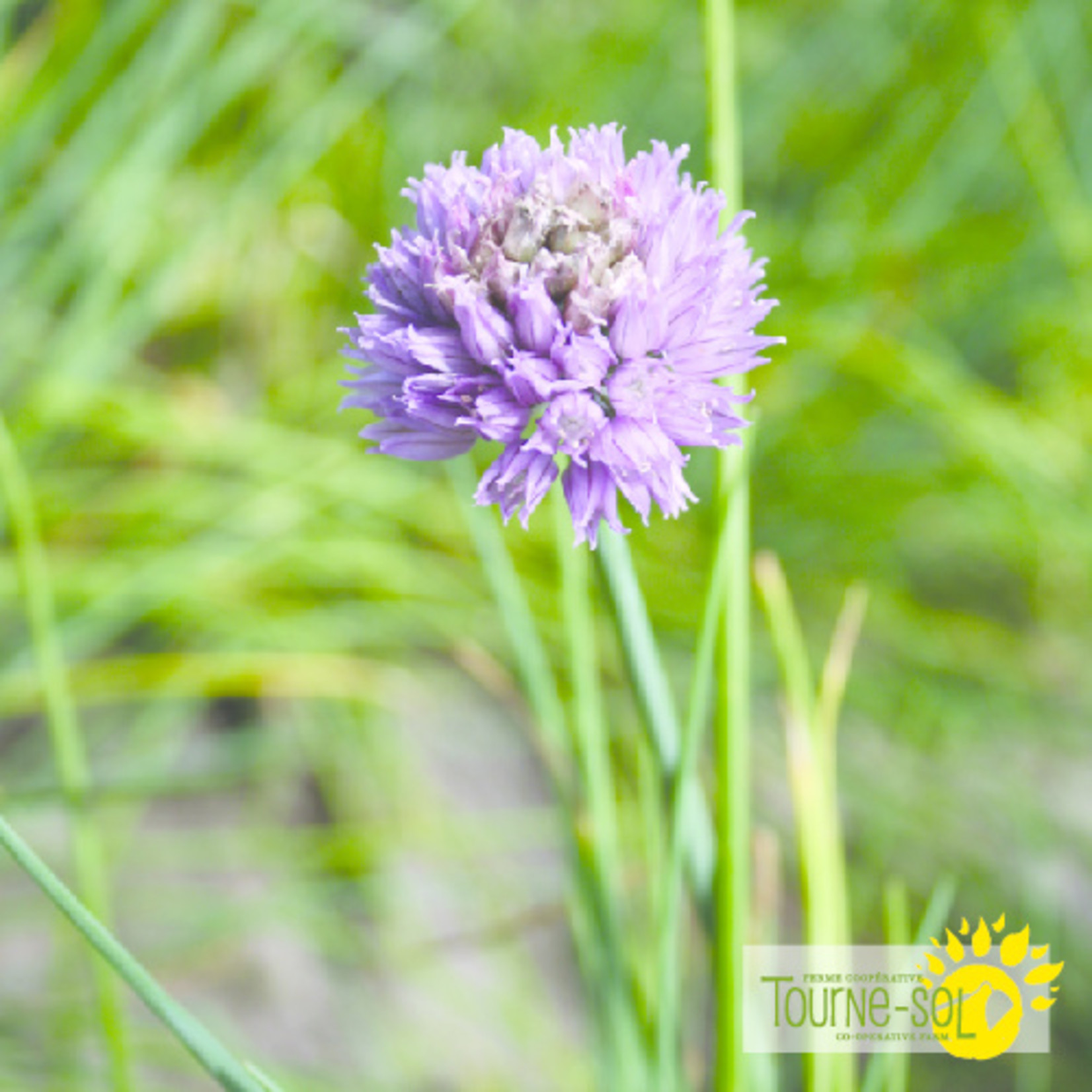 Tourne-Sol Chives