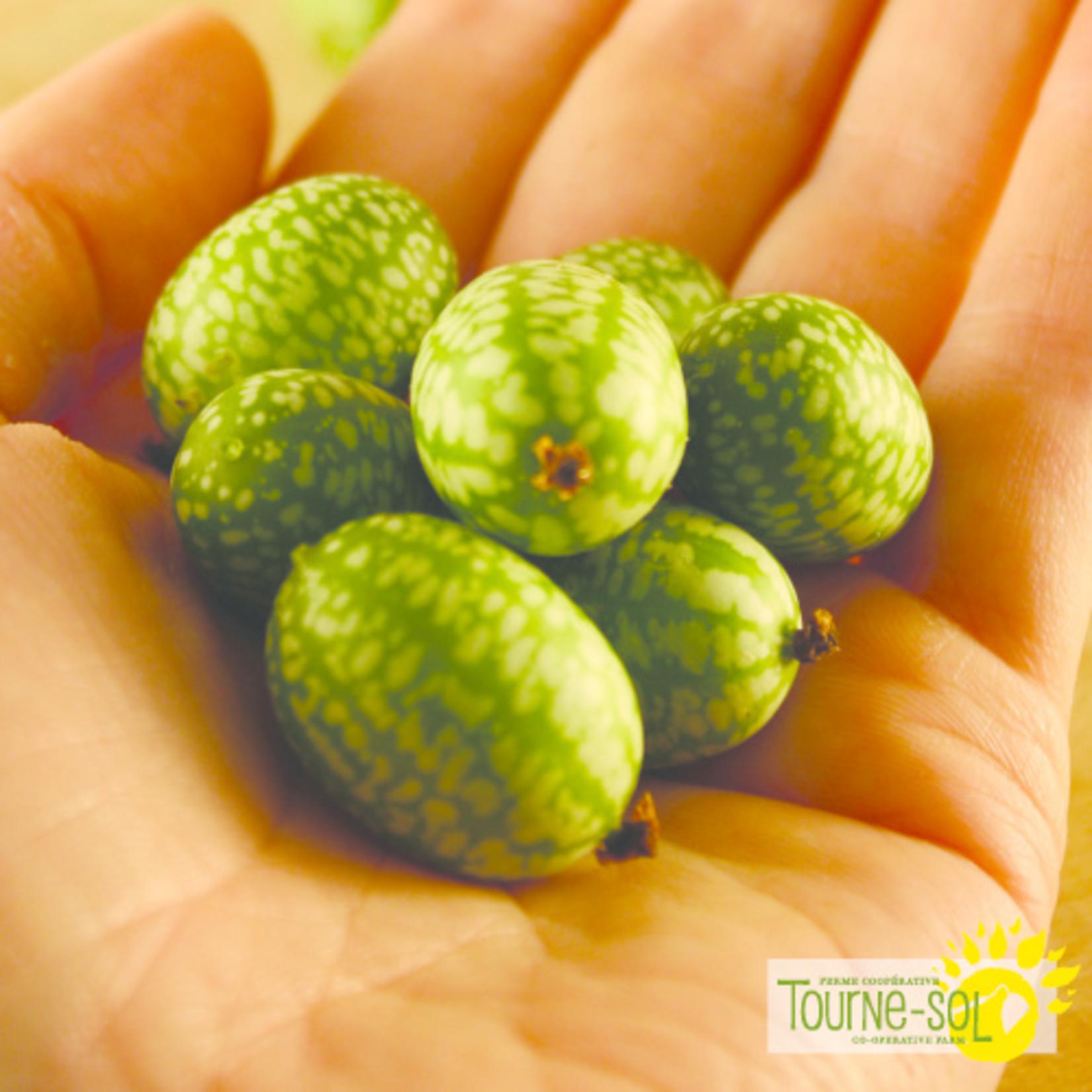 Tourne-Sol Melon Souris