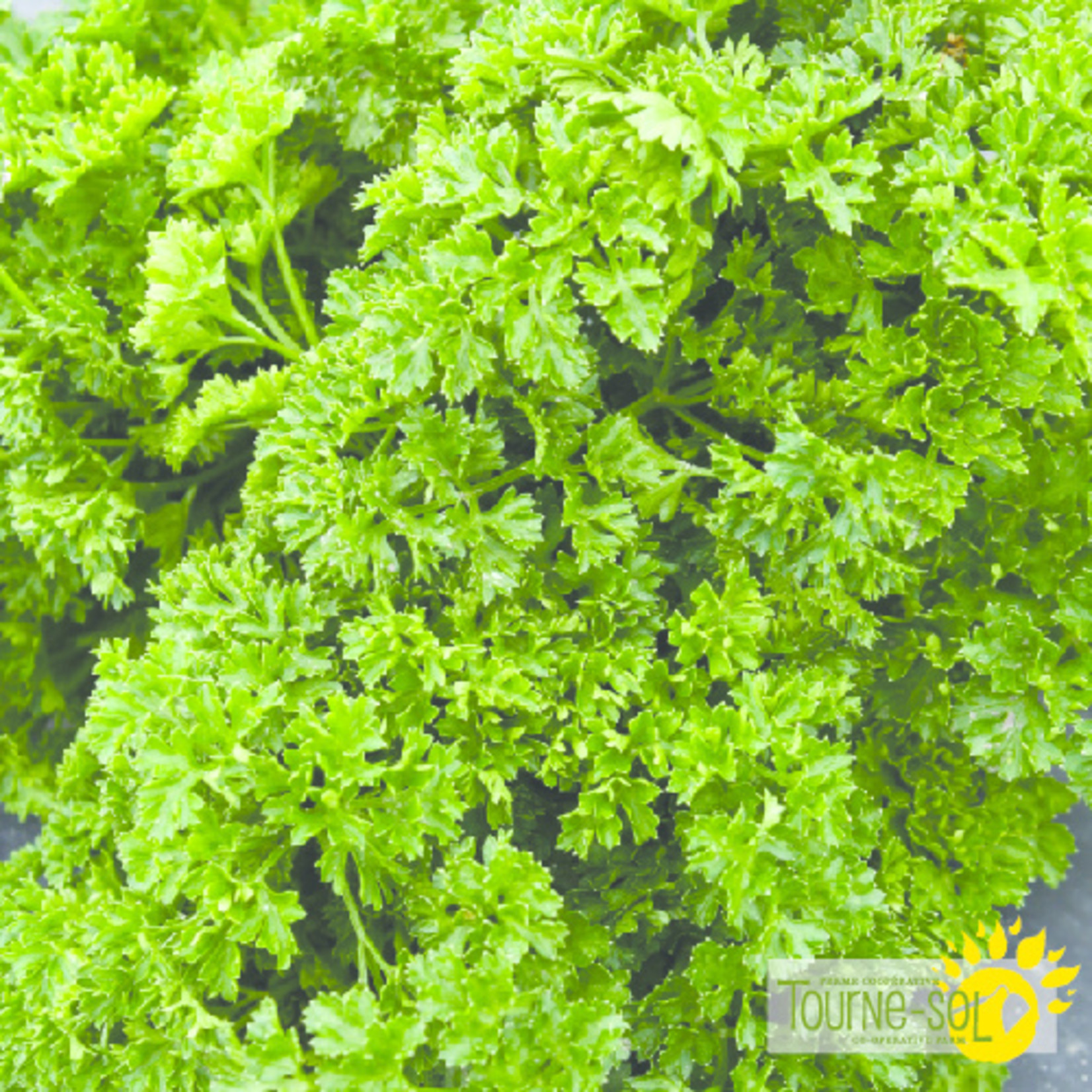 Tourne-Sol Curled parsley