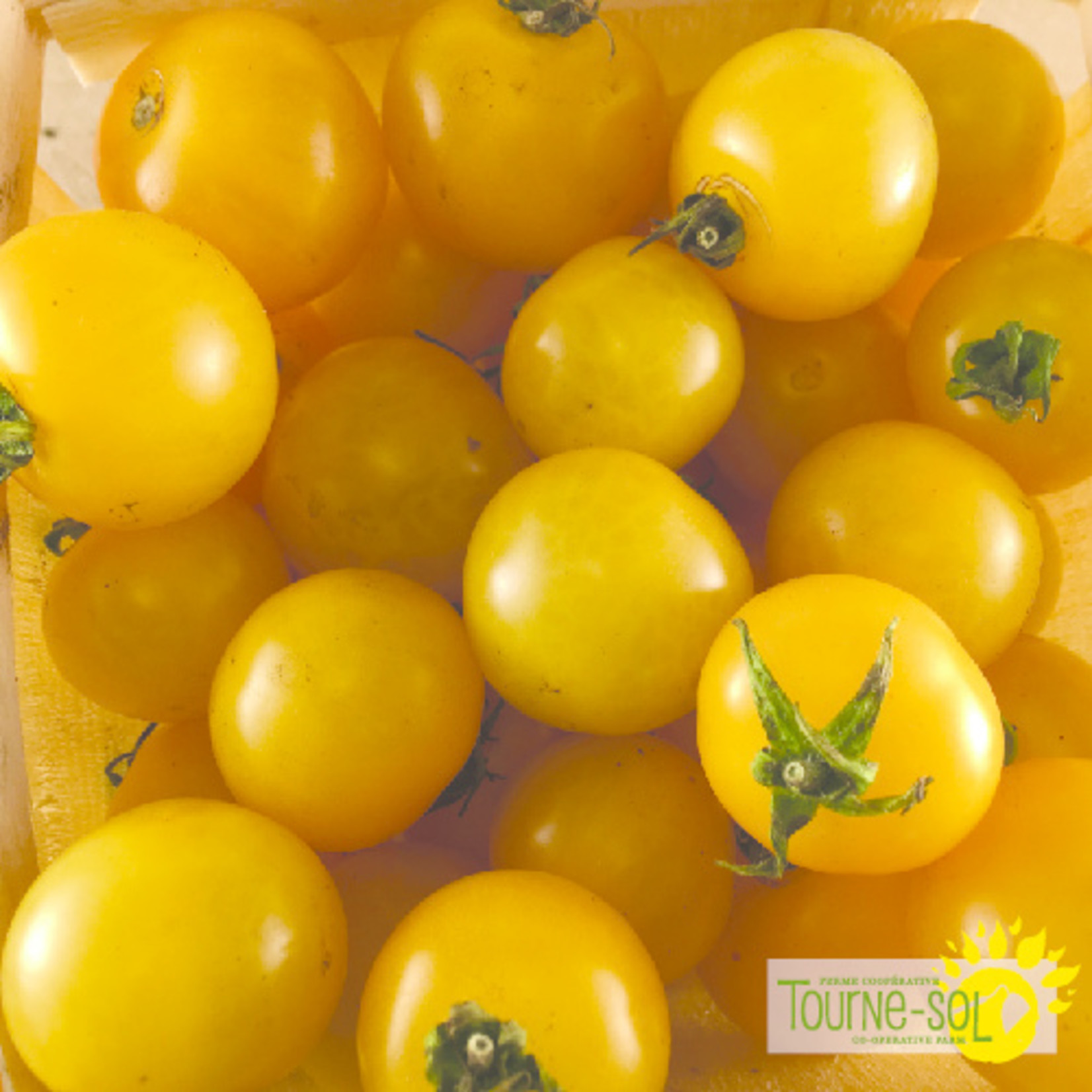 Tourne-Sol Galina yellow cherry tomato