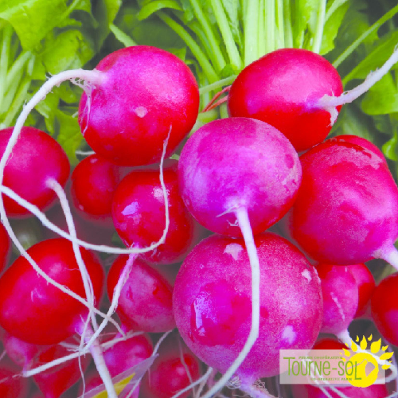 Tourne-Sol Raxe radish