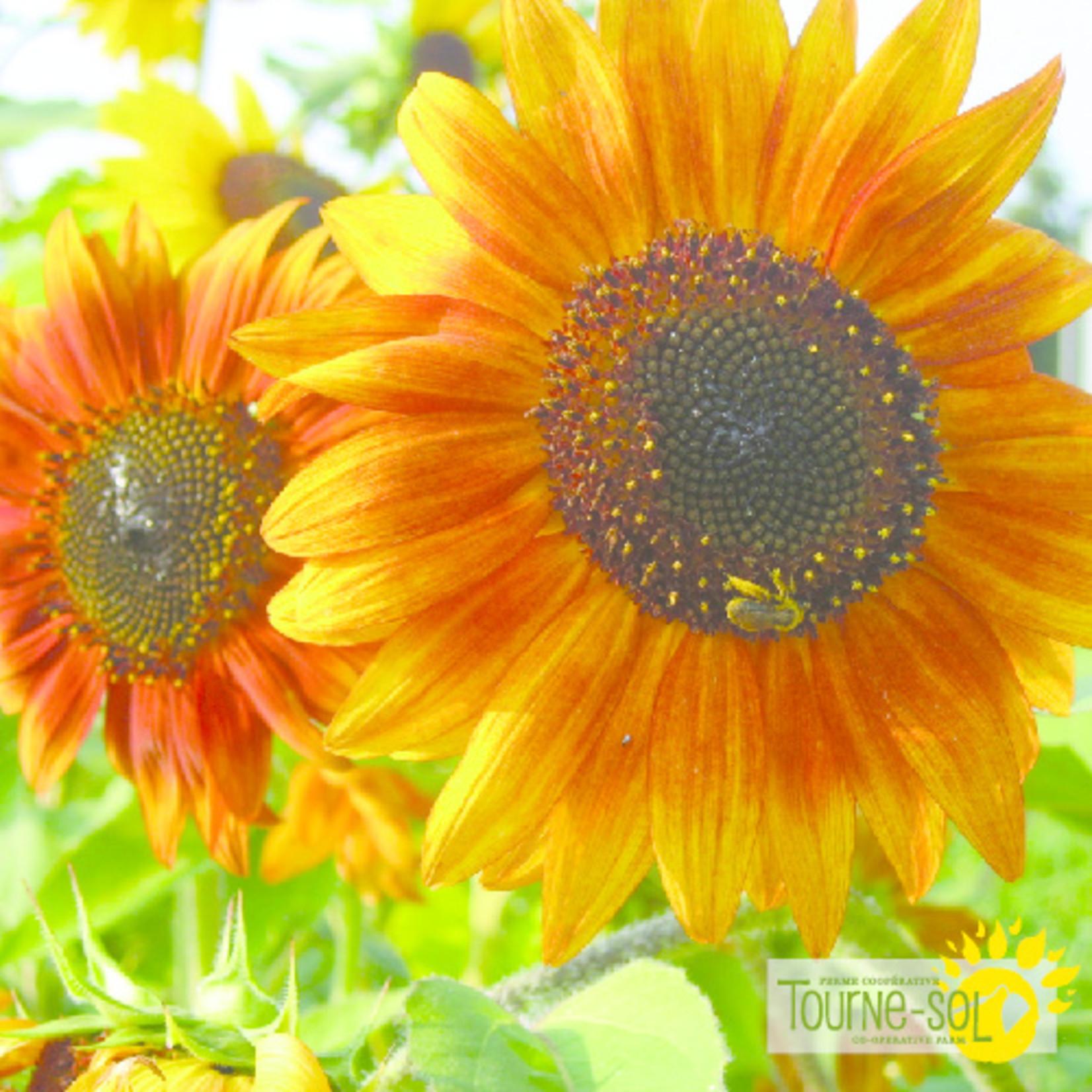 Tourne-Sol Sunflower mix