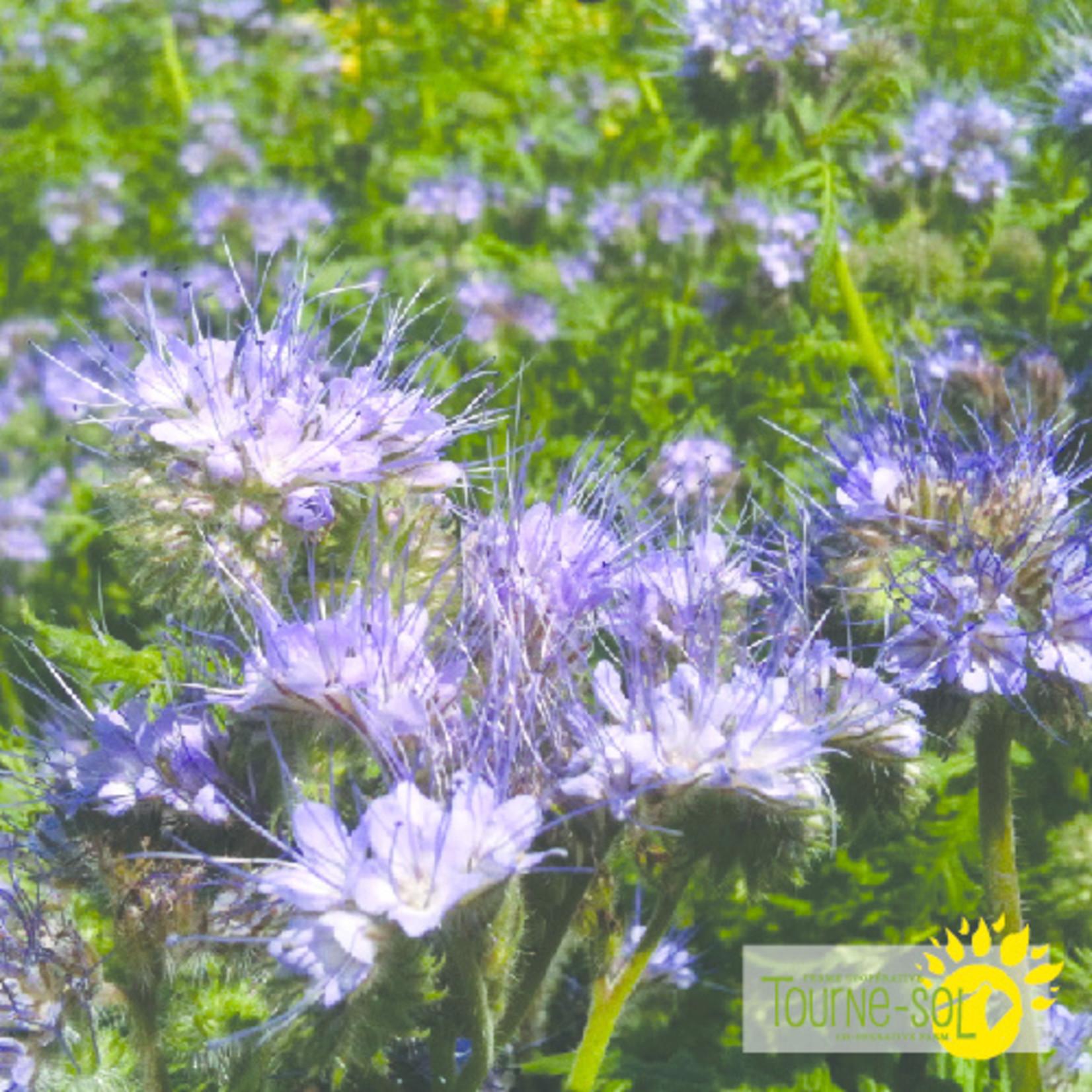 Tourne-Sol Phacelia