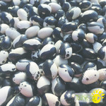 Tourne-Sol Orca dry bush bean