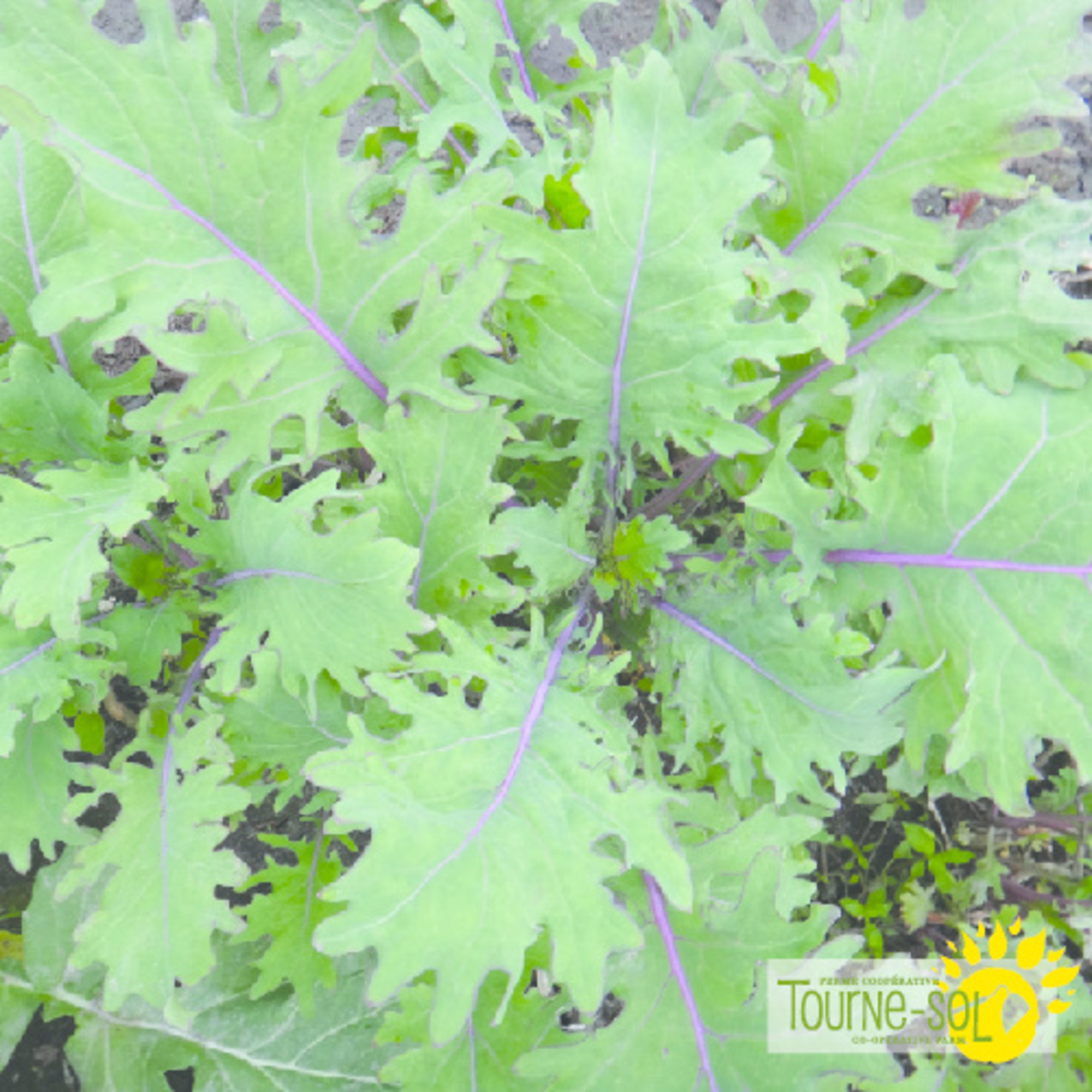 Tourne-Sol Kale Red Russian
