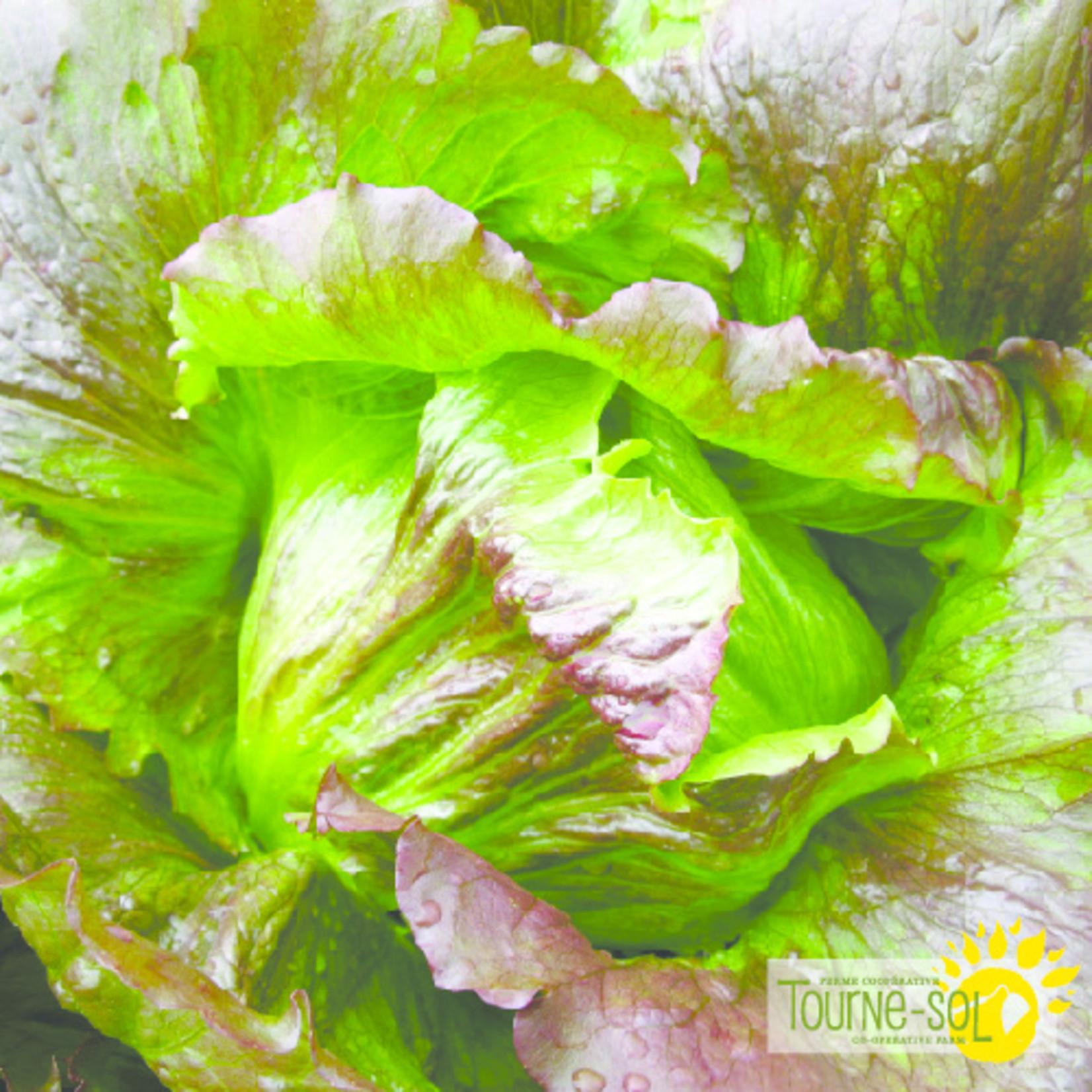 Tourne-Sol Red Iceberg lettuce