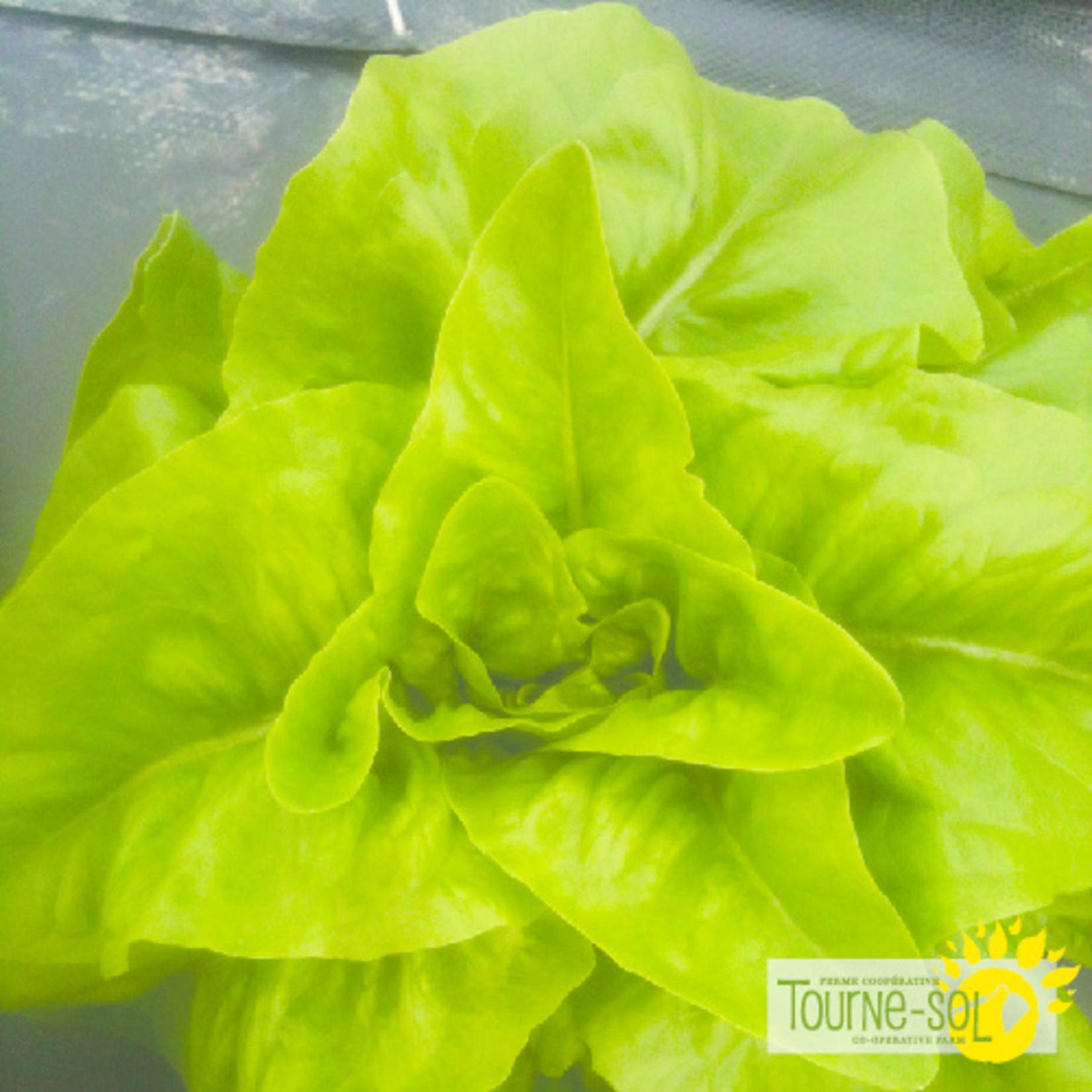 Tourne-Sol Deer Tongue green lettuce