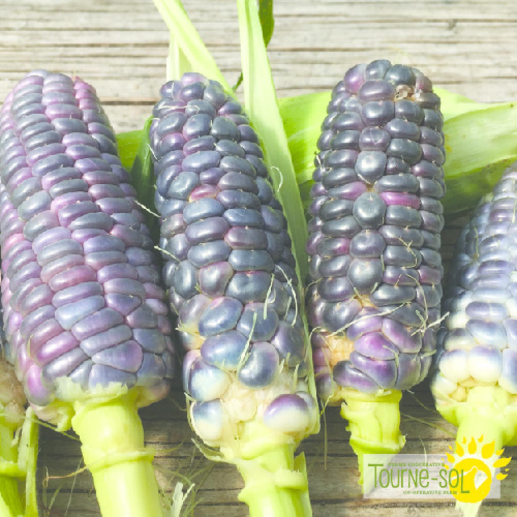 Tourne-Sol  Amish rainbow broomcorn