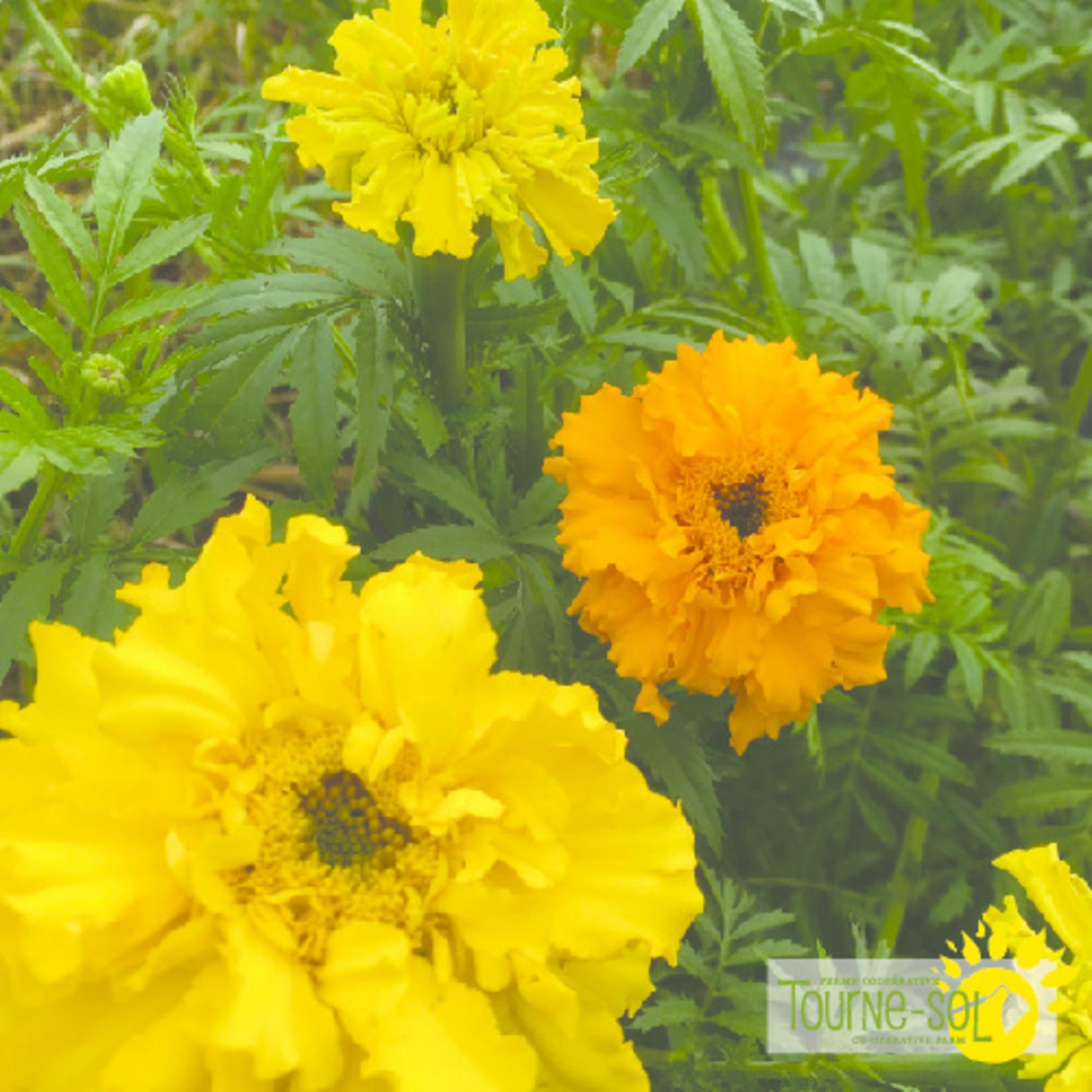 Tourne-Sol Crackerjack marigold
