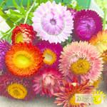Tourne-Sol Strawflower mix