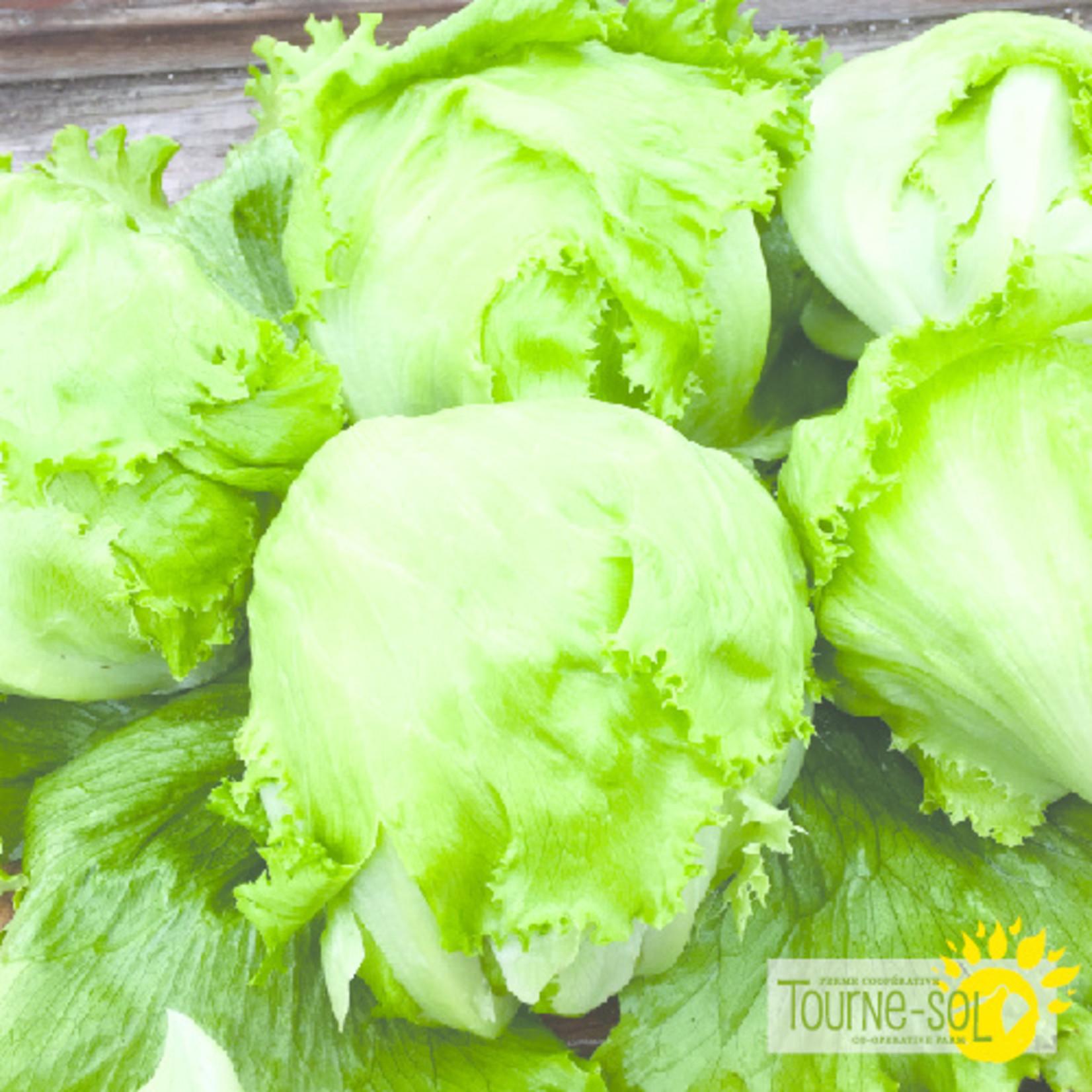 Tourne-Sol  Crispino iceberg lettuce