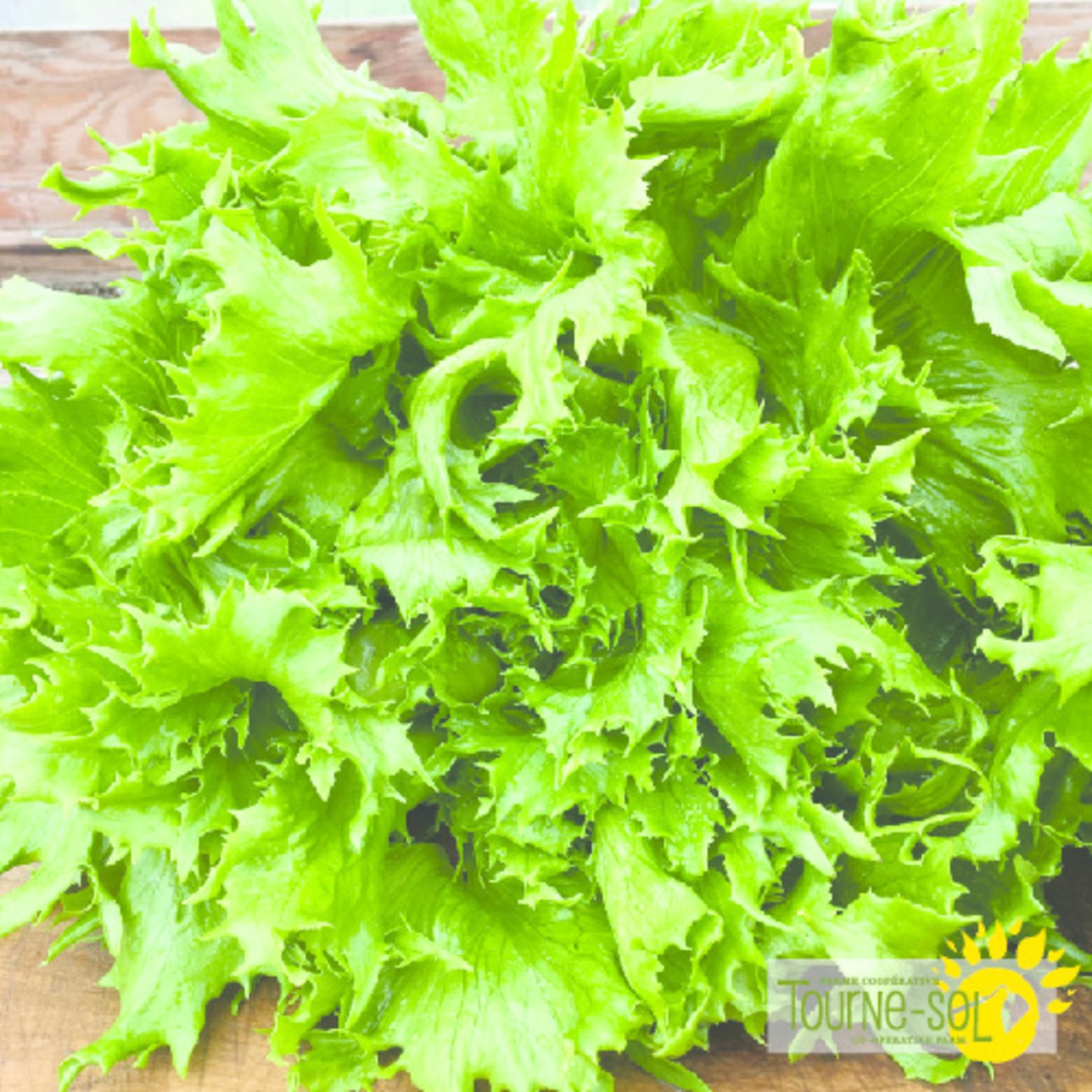 Tourne-Sol LaReine Des Glaces lettuce
