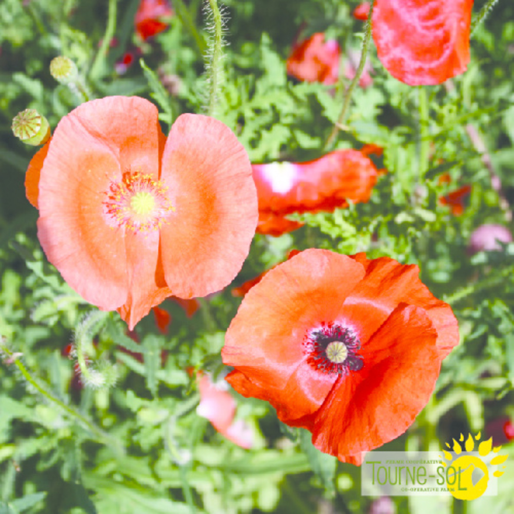 Tourne-Sol Corn poppy mix