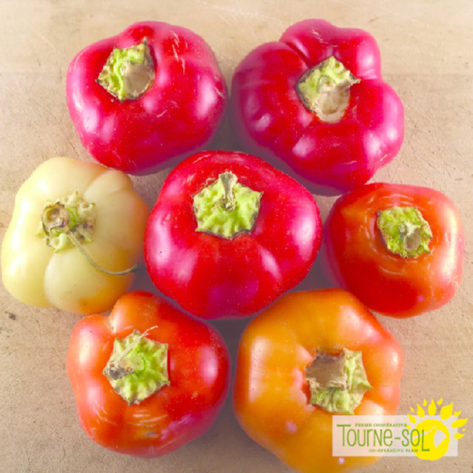 Tourne-Sol Alma Paprika hot pepper