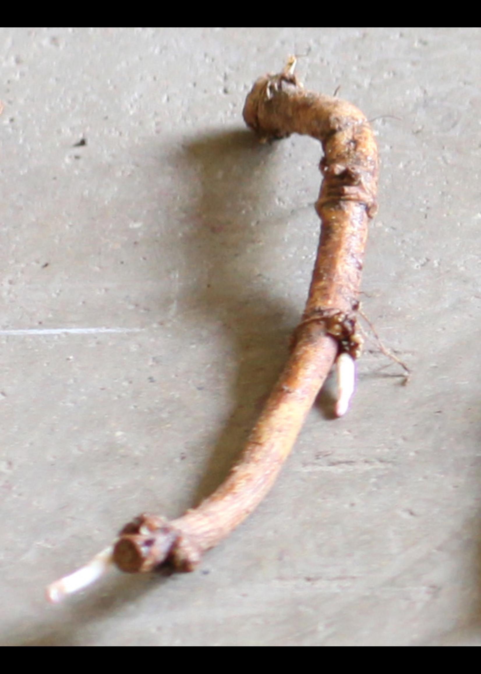 Hops Rhizome - Centennial