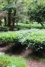 Service Tea Cupping / Tasting Tea Hawaii & Company