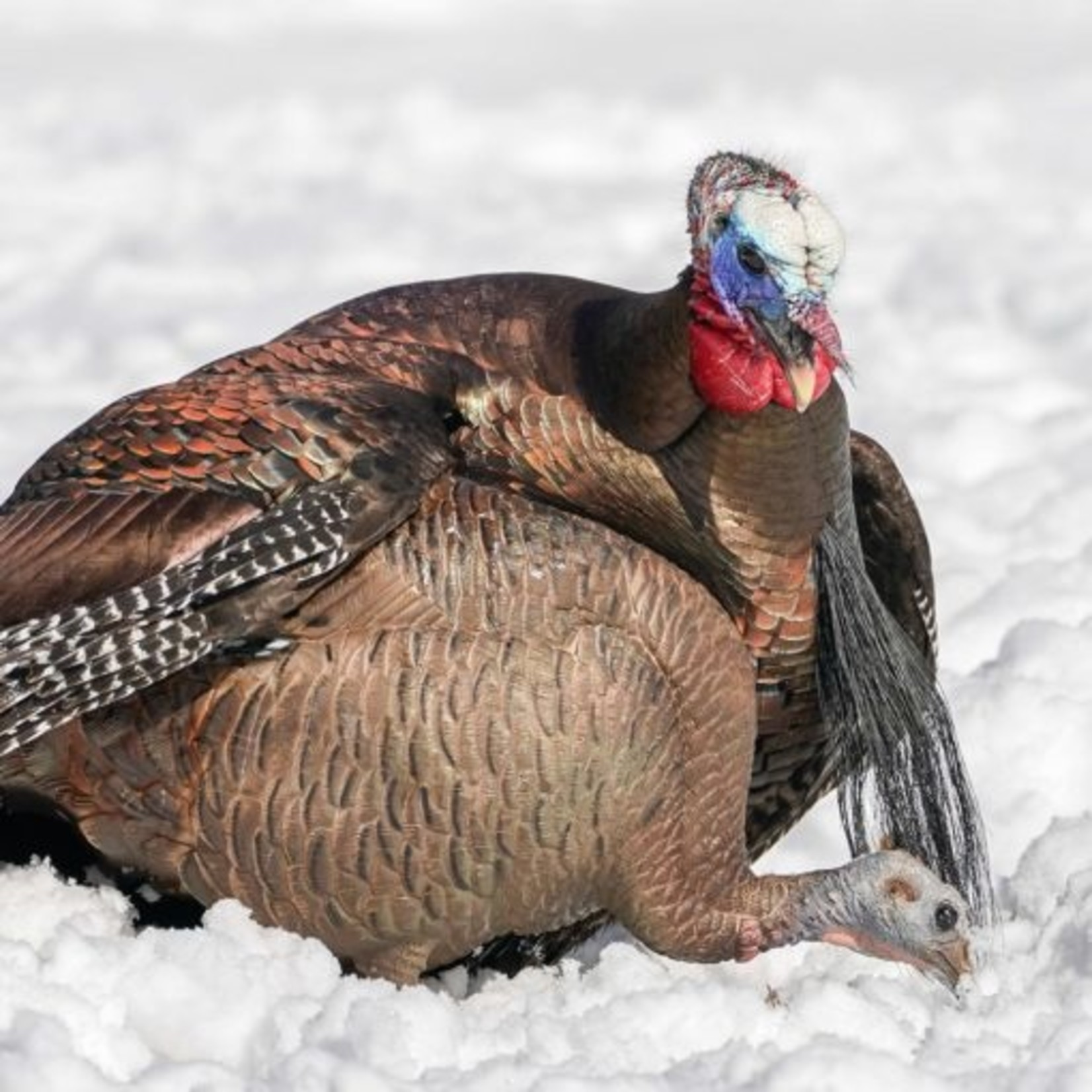 DSD DSD Feeding Hen Turkey Decoy
