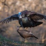 DSD DSD Leading Hen Turkey Decoy