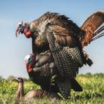 DSD DSD Mating Motion Pair Turkey Decoys
