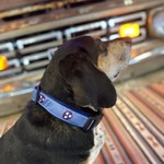 Belted Cow Tristar Dog Collar