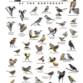 GUIDE THE BIRD STORE AND MORE BACKYARD FEEDER BIRDS OF THE NORTHEAST POSTER