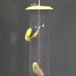 FEEDERS BIRDS CHOICE NYJER MAGNET MESH YELLOW FEEDER SM