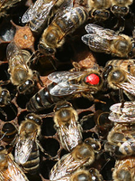 Koehnen and Sons Marked Koehnen Carniolan Queen Bee
