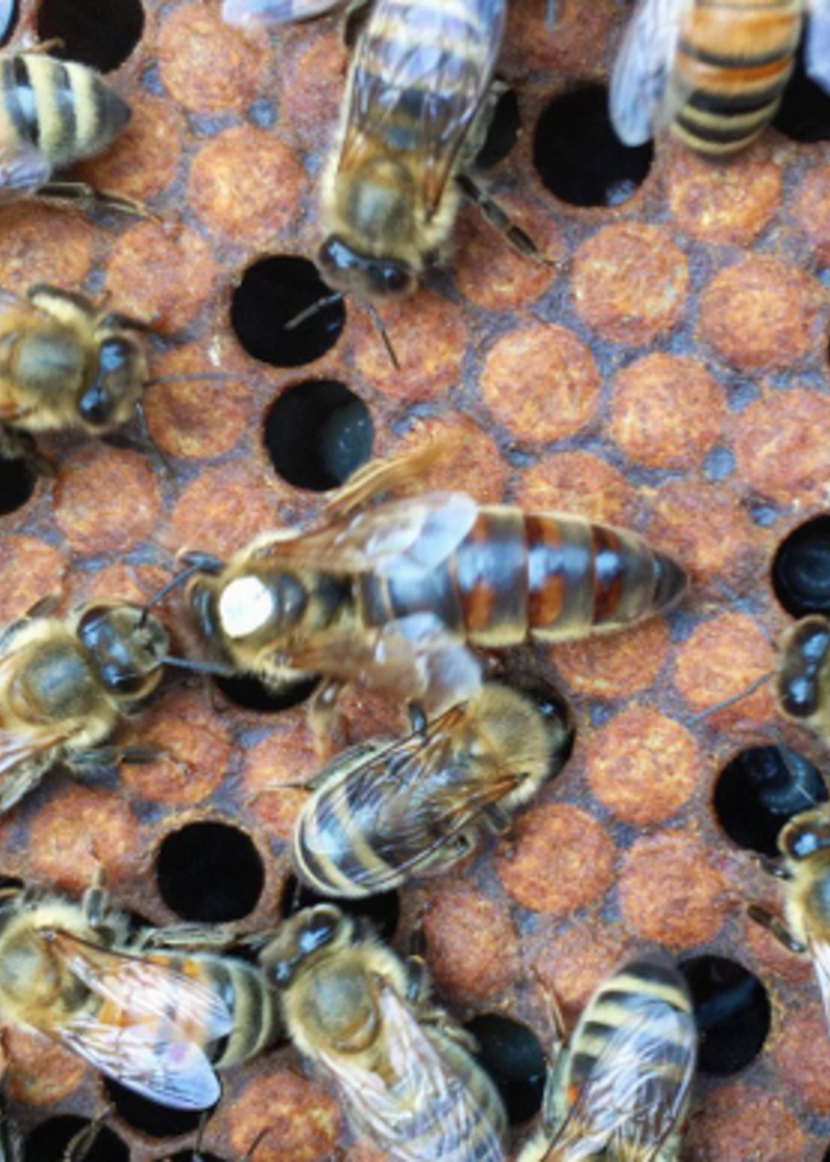 queen Olivarez Marked Carniolan Queen Bee