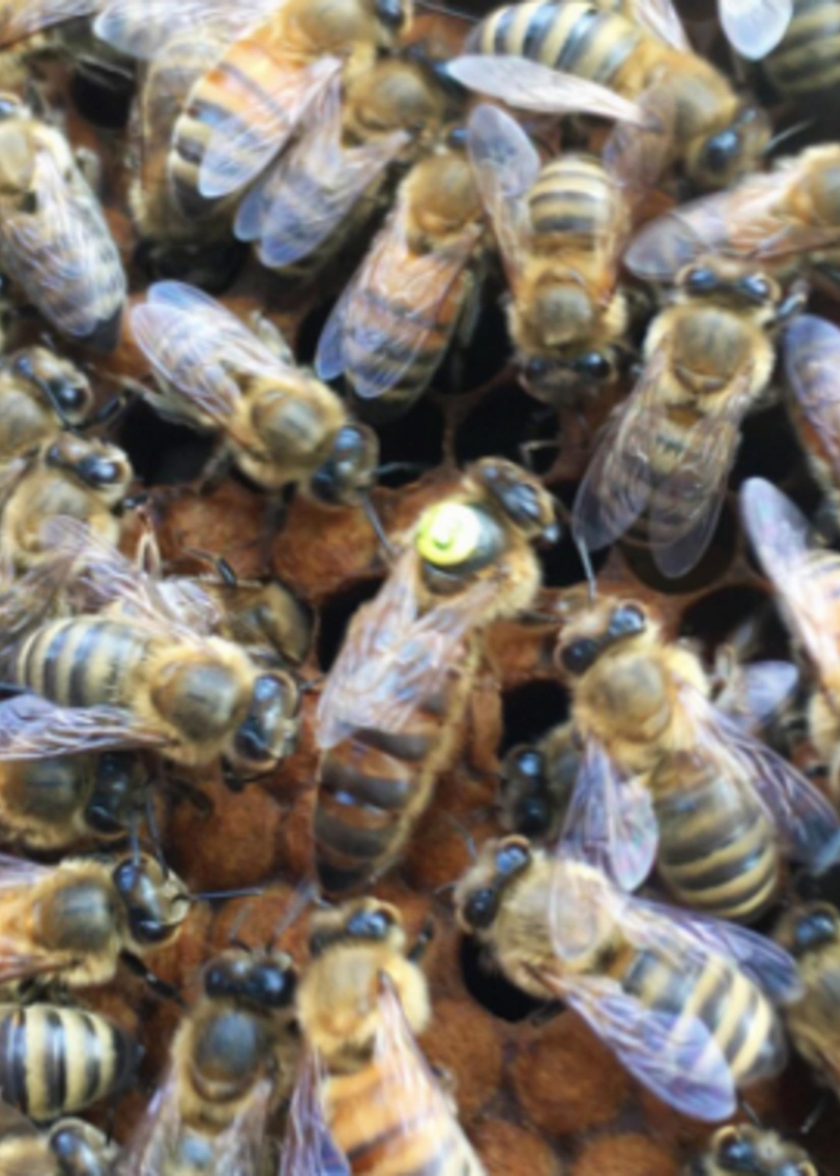 queen Olivarez Marked  Saskatraz Queen Bee