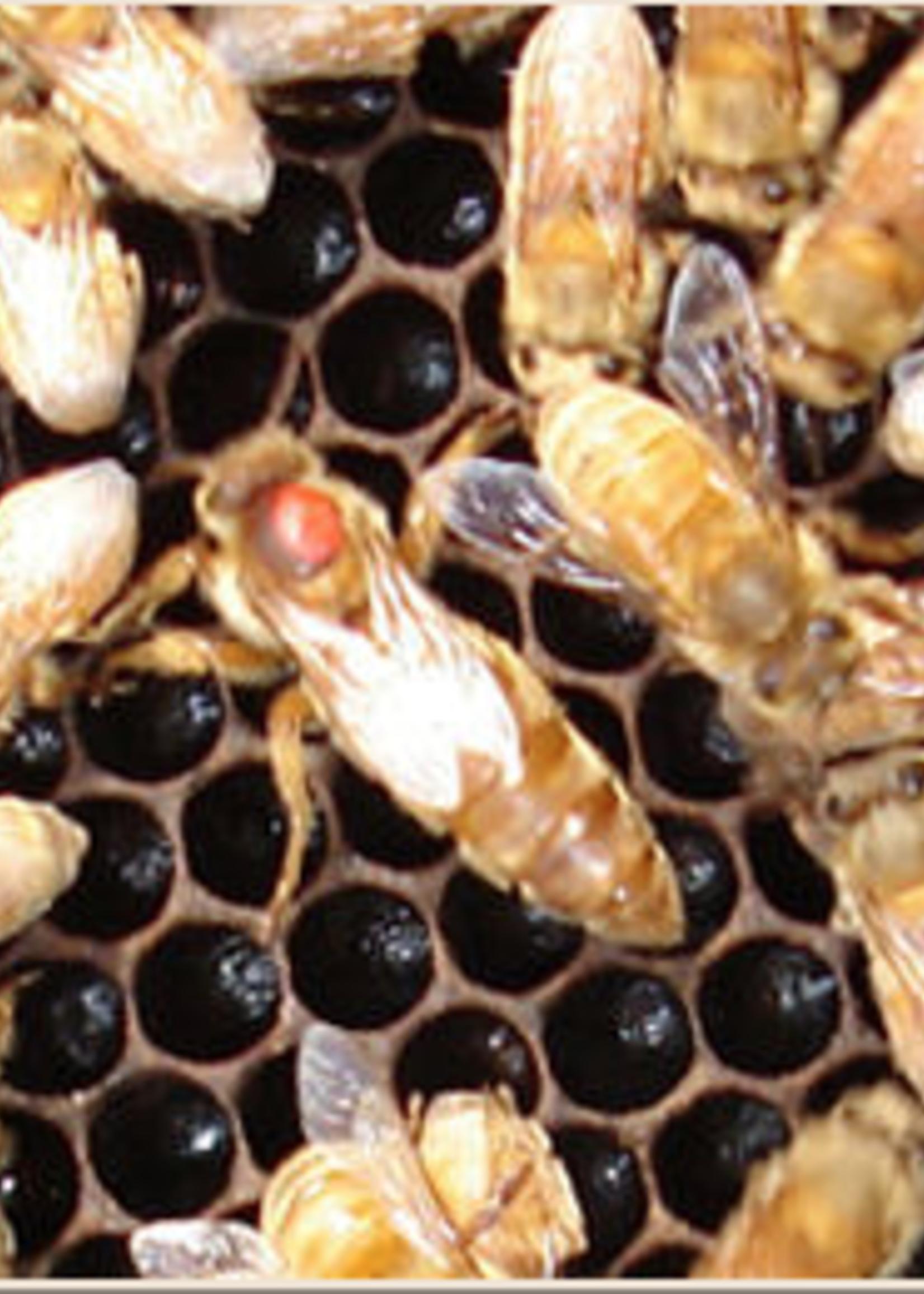 Koehnen and Sons Marked Koehnen Cordovan Italian Queen Bee