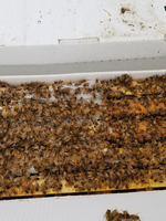 Bees Five Frame Nucleus Colony - Italian