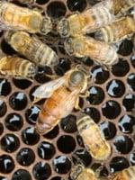 queen Russian Queen Bee