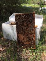 Bees 5 Frame Russian Nucleus colony Spring 2022