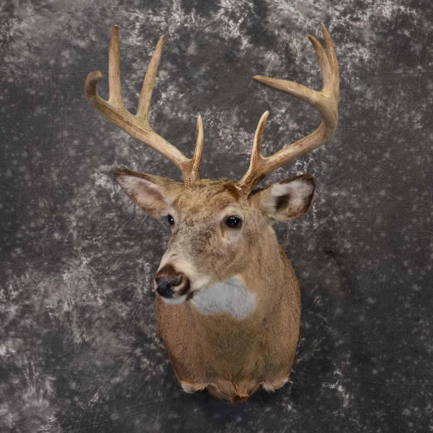 DOMINION OUTDOORS WHITETAIL DEER SHOULDER MOUNT