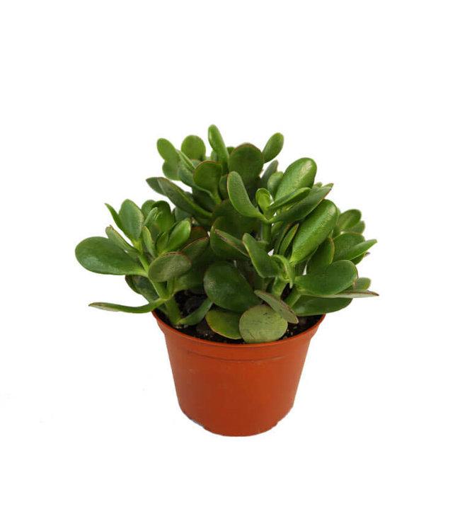 Jade, 4 in