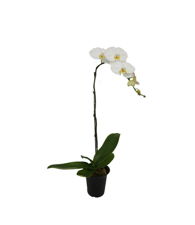 Phalaenopsis, Waterfall White 6 in