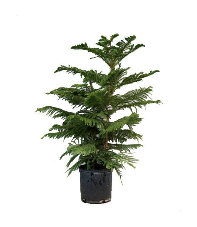 Norfolk Pine 3 gal