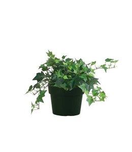 "English Ivy 6"""
