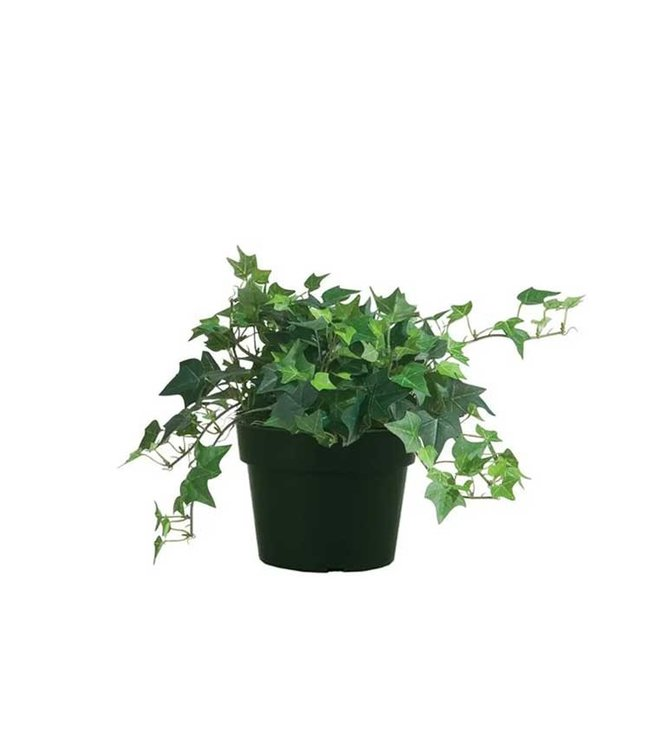 English Ivy 6 in