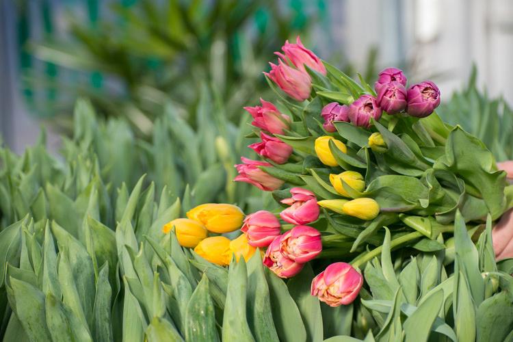 Tulipmania Edmonton