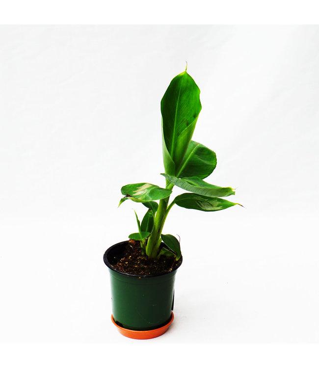 Banana Plant, 4 in
