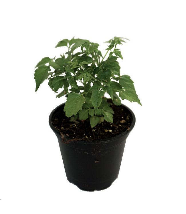 China Doll Plant 4 in