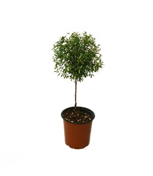 Myrtle, Topiary 5 in