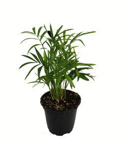 """Palm, 4"""""""